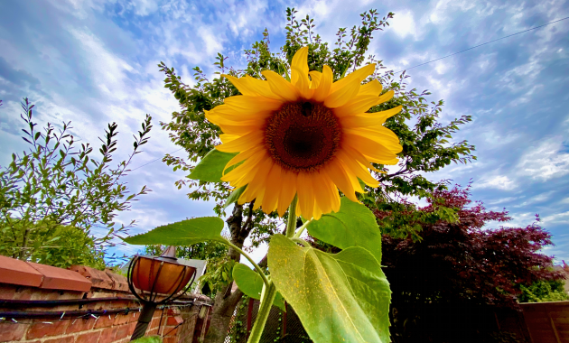 Amazing Sunflower gifted by a Neighbour